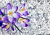 Crocus flowers in ice | Stock Foto