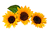 Sunflowers, isolated on white. | Stock Foto