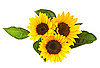 Sunflowers, isolated on white.   Stock Foto