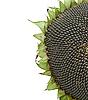 被隔绝在白色的向日葵种子。 | 免版税照片