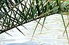 Фото 300 DPI: Пальмовая ветвь над водой.