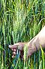 Wheat in the men`s hand | Stock Foto
