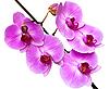 ID 3024398 | Rosa Orchidee | Foto mit hoher Auflösung | CLIPARTO