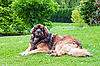 Dog lying on the grass | Stock Foto