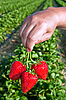 Photo 300 DPI: Ripe, juicy strawberries in man's hand.