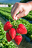 Photo 300 DPI: Ripe juicy strawberries in hand