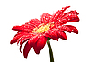 Капли росы на цветке герберы | Фото