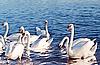 Flock of white swans | Stock Foto