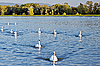 Flock of white swans in the river. | Stock Foto