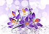 Violet flowers of crocus in ice | Stock Foto