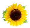 Sunflower, . in s | Stock Illustration