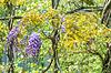 Spring season. Japanese wisteria flowers | 免版税照片
