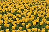 Field of yellow tulips | Stock Foto