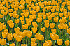 Field with yellow tulips | Stock Foto