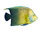 Photo 300 DPI: Angelfish in aquarium isolated
