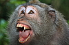 Photo 300 DPI: Angry wild monkey (long-tailed macaque)