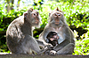 Photo 300 DPI: Monkey family - long tailed macaques
