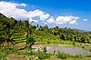 绿色水稻梯田 | 免版税照片