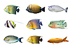 Photo 300 DPI: Selection of tropical coral fishes isolated