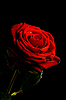 Photo 300 DPI: Red rose with water drops isolated on black
