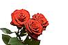 Three roses isolated   Stock Foto