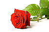 Red rose on white | Stock Foto