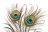 Two peacock feathers | Stock Foto