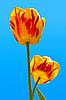 Two tulips in sky | Stock Foto