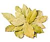 Фото 300 DPI: лавровые листья