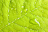 Photo 300 DPI: Green leaf with water droplets