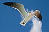Photo 300 DPI: Seagull flying