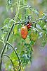 Growth tomato branch | Stock Foto