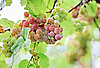 Bunches of black grape with water drops | Stock Foto
