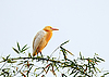 ID 3017054   White bubulcus ibis sitting on bamboo tree   High resolution stock photo   CLIPARTO