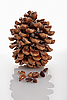 Cedar of Lebanon cone on white  | Stock Foto