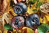 Photo 300 DPI: Three rotten apples on vivid colored autumn leaves