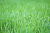 물 방울과 새로운 녹색 귀리 잔디 | Stock Foto