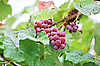 ID 3017230 | Bunches of black grape with water drops | High resolution stock photo | CLIPARTO