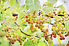 ID 3017233 | Bunches of white grape with water drops | High resolution stock photo | CLIPARTO