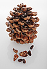 Photo 300 DPI: cedar of Lebanon cone on white