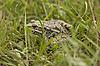 青蛙在草丛中   免版税照片