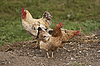 Photo 300 DPI: Domestic chicken and rooster