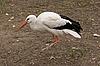 Photo 300 DPI: White stork