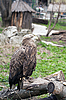 Eagle at the zoo | Stock Foto