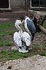 Photo 300 DPI: two pelicans