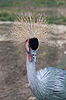 Photo 300 DPI: Grey Crowned Crane