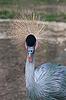 灰冠鹤 | 免版税照片
