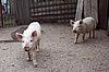Dirty pig. | Stock Foto