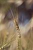 Wheat | Stock Foto