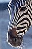 Photo 300 DPI: Zebra
